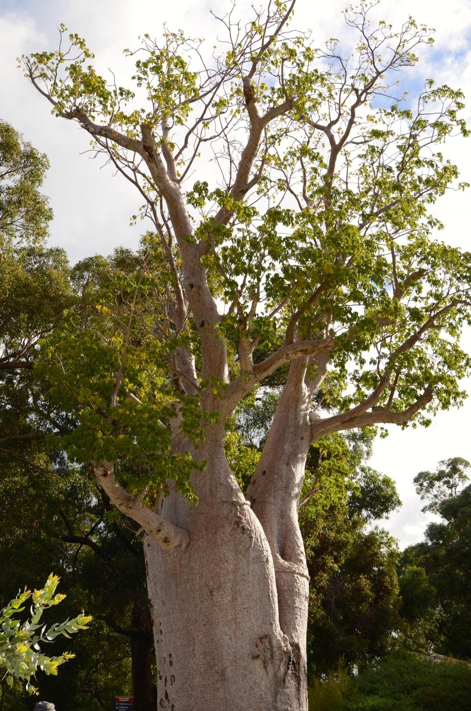Kimberley Bottle Tree